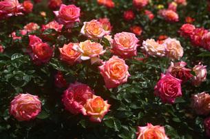 黄色と紅色のバラの写真素材 [FYI01470625]