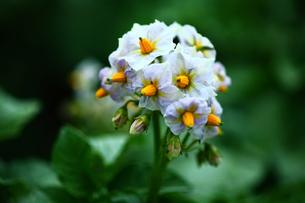 野菜 ジャガイモの花の写真素材 [FYI01470643]