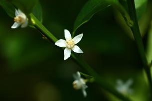 果物 キンカンの花の写真素材 [FYI01470722]