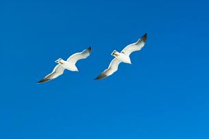 青空に飛ぶカモメの写真素材 [FYI01470798]
