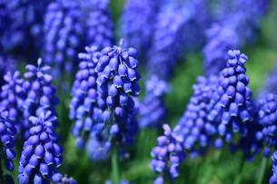 ムスカリの花の写真素材 [FYI01470807]