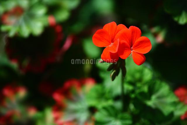 赤いゼラニウムの花の写真素材 [FYI01470822]