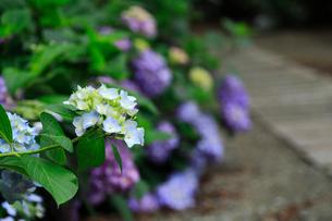紫陽花の写真素材 [FYI01470846]