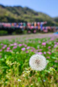 レンゲ畑に咲くタンポポとコイノボリの写真素材 [FYI01470866]