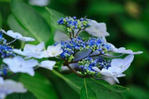 紫陽花の写真素材 [FYI01470905]