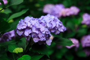 紫陽花の写真素材 [FYI01470906]