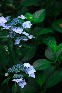 紫陽花の写真素材 [FYI01470912]