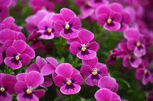 赤紫色のビオラの写真素材 [FYI01470952]