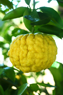 果物 巨大なシシユズの写真素材 [FYI01470954]