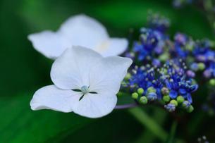 紫陽花の写真素材 [FYI01471100]