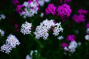 紅白のシレネの花の写真素材 [FYI01471152]