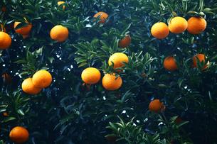 果物,夏みかん実るの写真素材 [FYI01471157]