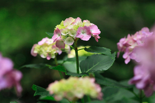 紫陽花の写真素材 [FYI01471229]