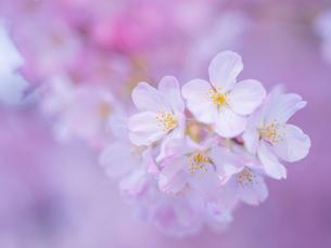 桜アップの写真素材 [FYI01471243]