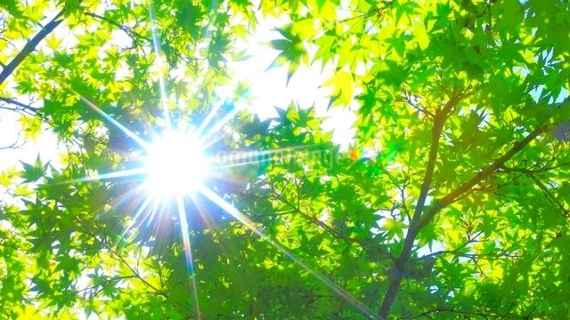 新緑の木漏れ日の木の写真素材 [FYI01471284]