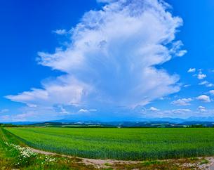 新緑の麦畑と青空に夏雲の写真素材 [FYI01471352]