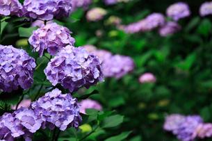 紫陽花の写真素材 [FYI01471388]