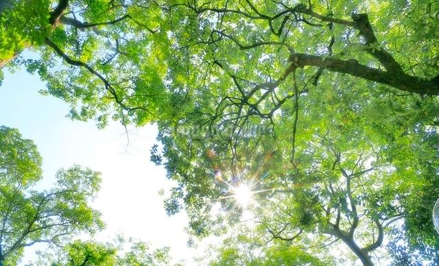 木洩れ陽の太陽と新緑の写真素材 [FYI01471420]