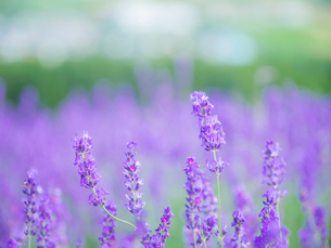 富良野点景  ラベンダー畑の写真素材 [FYI01471466]