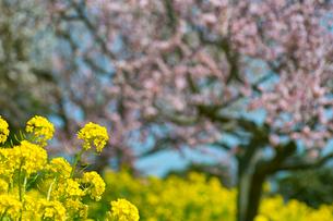菜の花と梅花の写真素材 [FYI01471480]