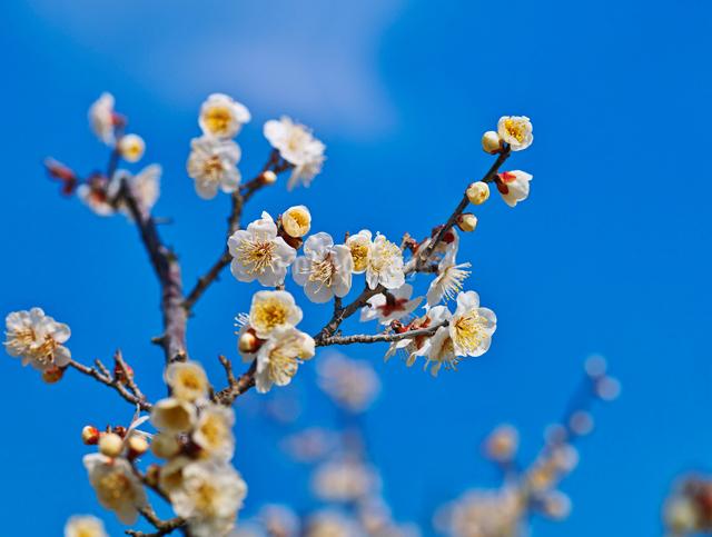 白梅と青空の写真素材 [FYI01471502]