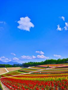 花畑と青空に夏雲の写真素材 [FYI01471586]