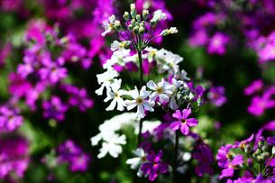 紅白のプリムラ・マラコイデスの花の写真素材 [FYI01471611]