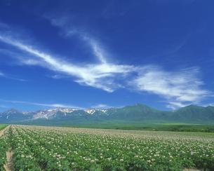 花咲くジャガイモ畑と十勝岳連峰の写真素材 [FYI01471613]
