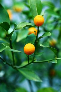 果物,キンカン実るの写真素材 [FYI01471660]
