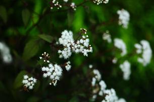 ユーパトリウムの白い花の写真素材 [FYI01471661]