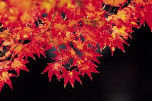 秋のもみじの写真素材 [FYI01471690]