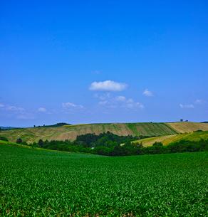 新緑の畑(とうもろこし)と青空の写真素材 [FYI01471698]