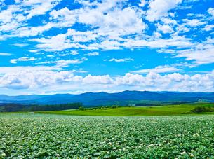 満開のジャガイモ畑と青空に夏雲の写真素材 [FYI01471699]