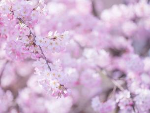 桜アップの写真素材 [FYI01471720]