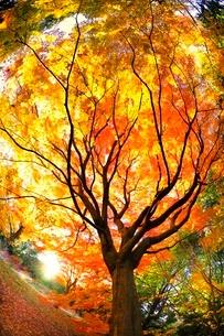 秋の大木と木漏れ日の写真素材 [FYI01471747]