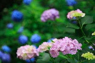 紫陽花の写真素材 [FYI01471773]