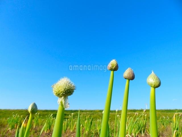 青空のネギの花の写真素材 [FYI01471776]