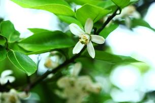 シシユズの花の写真素材 [FYI01471846]