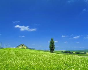 青空とそば畑に立つ一本の木 (ケンとメリーの木)の写真素材 [FYI01471848]