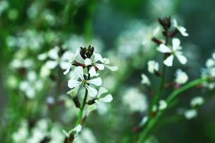ハーブ ロケットの花の写真素材 [FYI01471861]
