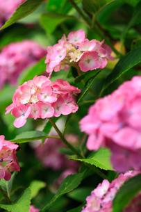 紫陽花の写真素材 [FYI01471986]