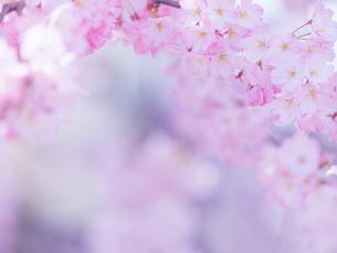桜アップの写真素材 [FYI01472005]
