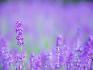 富良野点景  ラベンダー畑の写真素材 [FYI01472120]