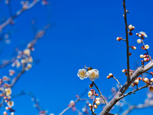 青空と白梅とミツバチの写真素材 [FYI01472131]