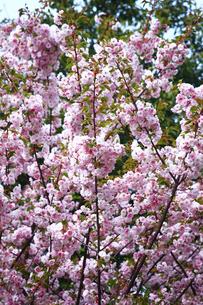 里桜 東錦の花の写真素材 [FYI01472163]