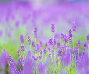 富良野点景  ラベンダー畑の写真素材 [FYI01472173]