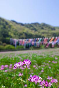 レンゲ草とコイノボリの写真素材 [FYI01472175]