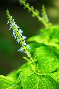 コリウスの青い花の写真素材 [FYI01472181]