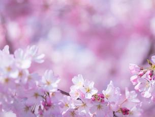 桜アップの写真素材 [FYI01472183]
