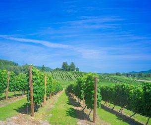 北海道 富良野点景  ブドウ畑と青空の写真素材 [FYI01472204]